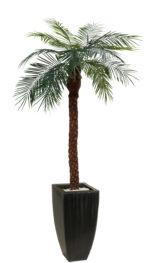 Kókusz pálma